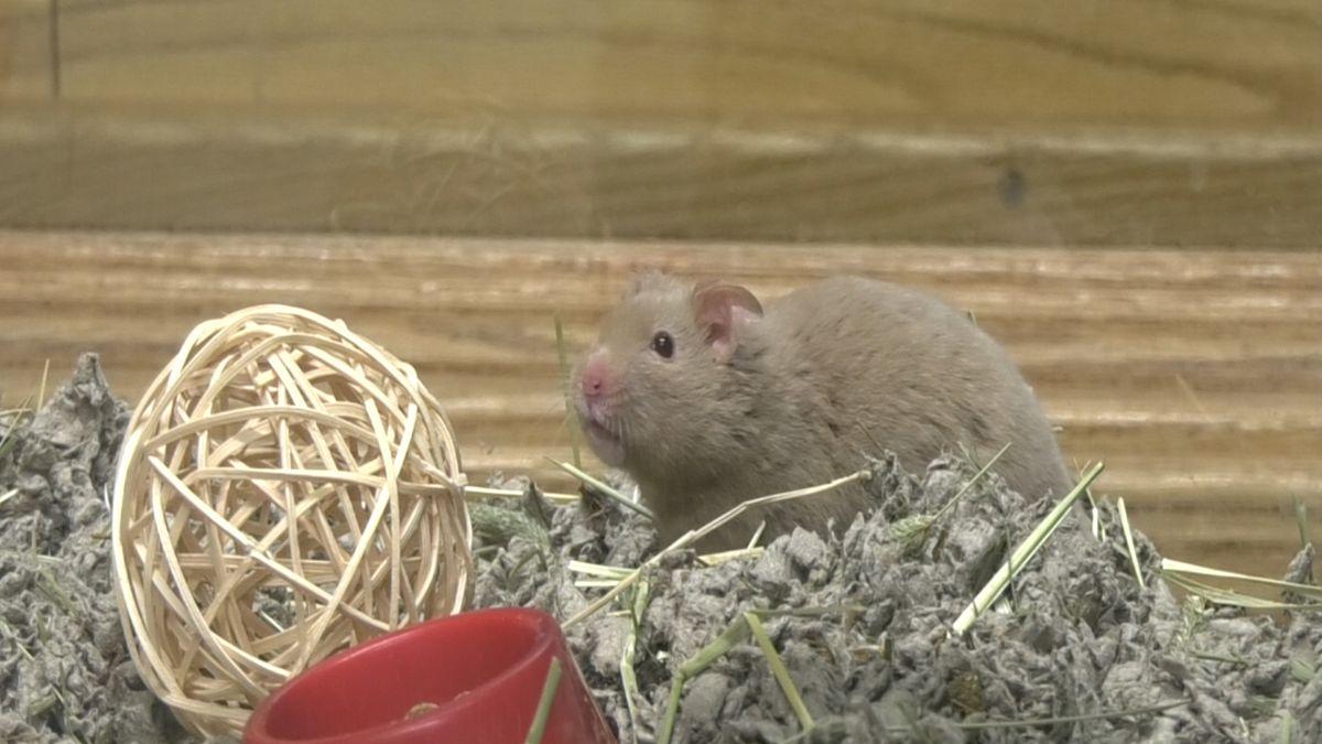 Smoky, an outgoing hamster (Jordan Rodenberger/KTVF