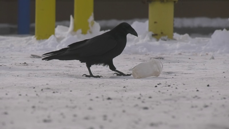 Ravens are some of the most intelligent animals in the wild, even capable of coordinated thefts...