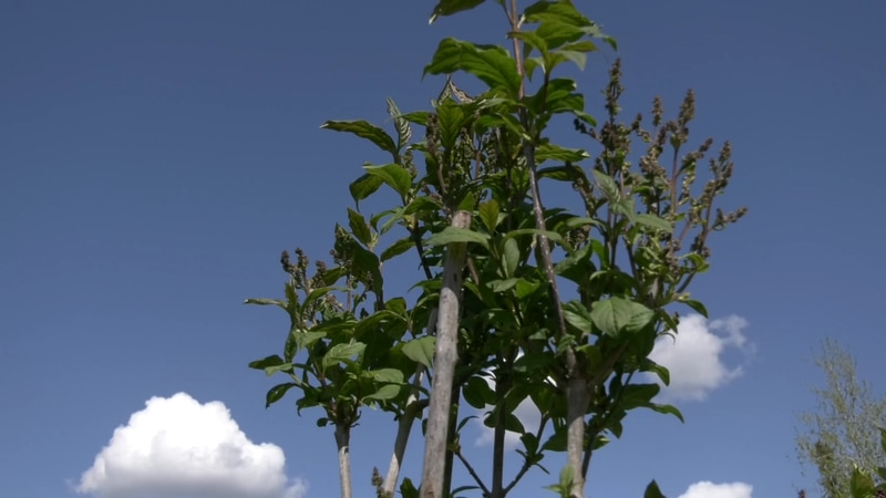 The GVEA will be giving away free lilac trees this weekend for Arbor Day. When fully matured...