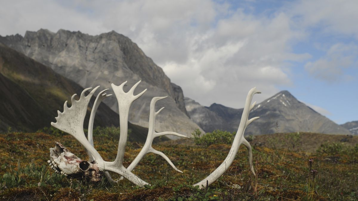 In this Aug. 1, 2014 photo provided by the National Park Service are male caribou antlers in...