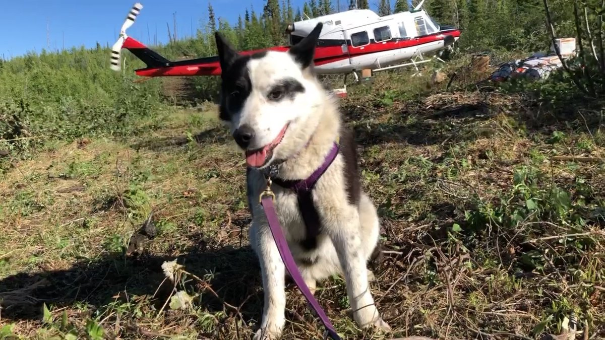 Windriver Bear Institute's Bear dog being dropped off at spike camp (Courtesy: Emery Johnson -...