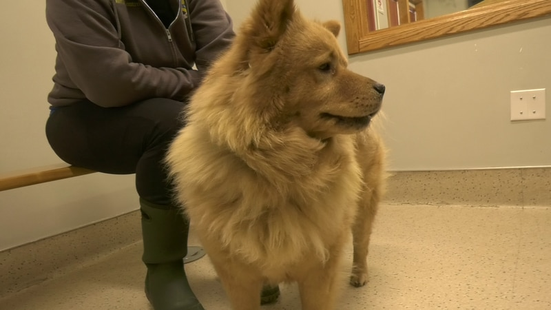 Roxanne the Chow Chow is looking for a loving place to call her forever home.