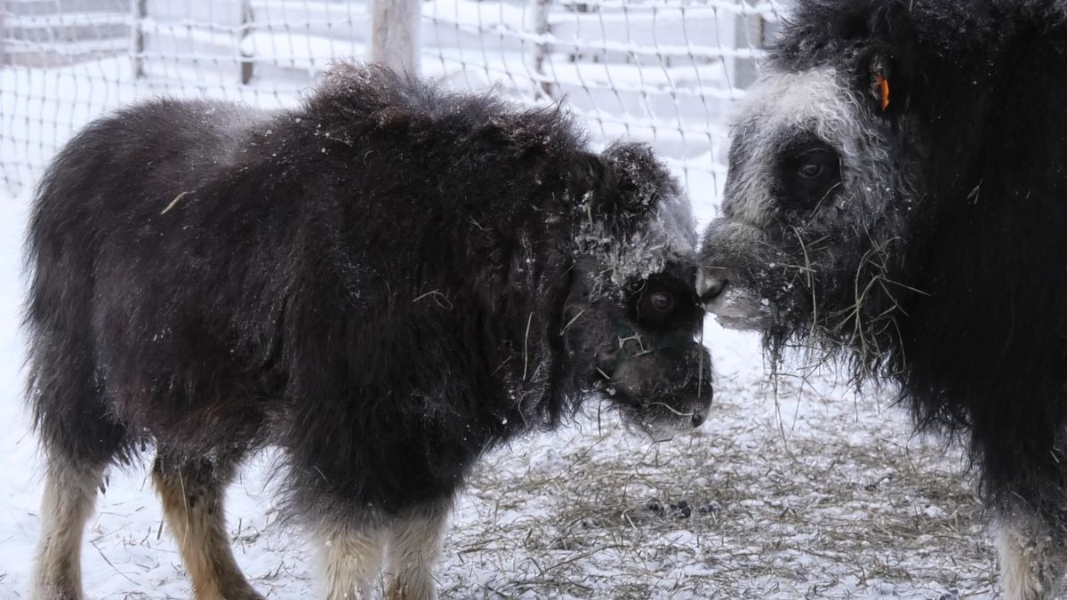 Two muskox calves nuzzle at UAF Large Animal Research Station. (Karen Simmons,/KTVF)