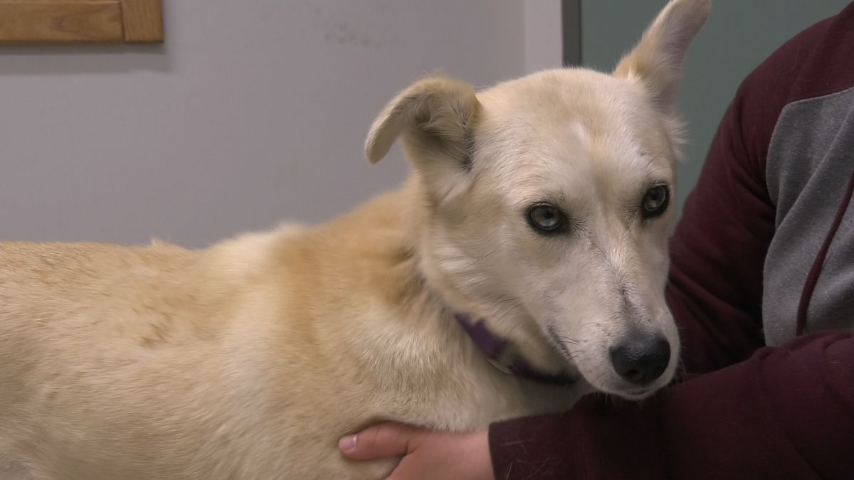 """With glittering eyes and a snuggle problem, you'll definitely be over the moon with this 5 year old husky! Meet Luna in News 13's, """"Pet of the Week."""""""