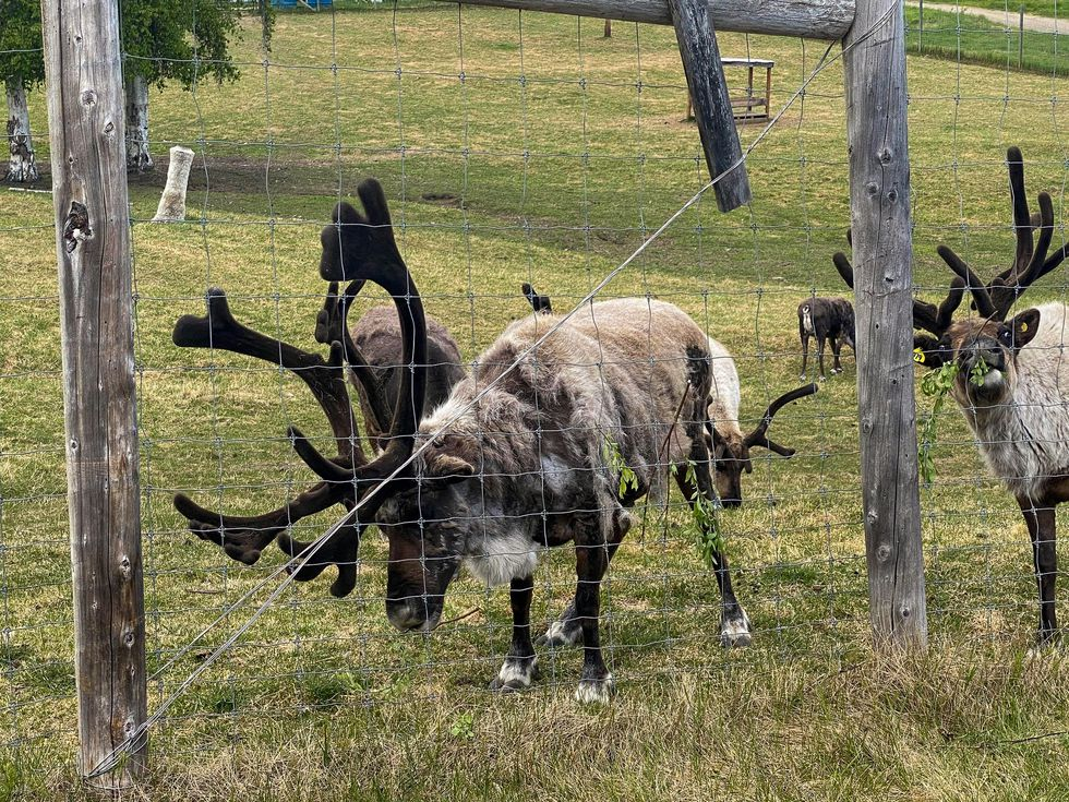 Reindeer eating grass and willow leaves during a tour at the University of Alaska Fairbanks...