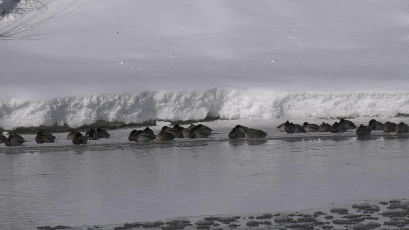 For the last fifteen years, the Chena River has experienced an overpopulation of ducks during...