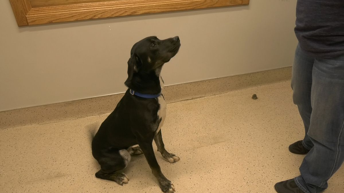 Shooter is an 11-month old pit bull lab mix. He is available for adoption at the Fairbanks...