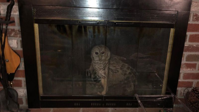 A barred owl was found trapped in a fireplace at a Massachusetts home.
