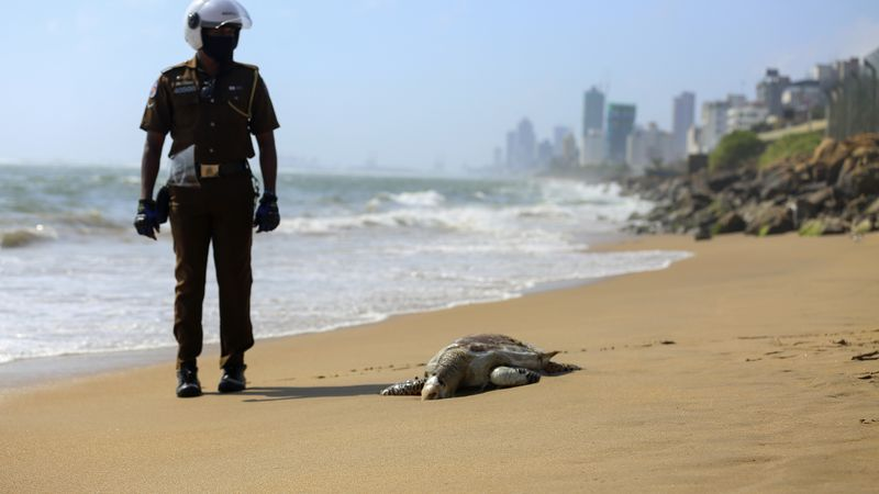 A Sri Lankan policeman looks at a dead turtle that washed ashore in Colombo, Sri Lanka, June...