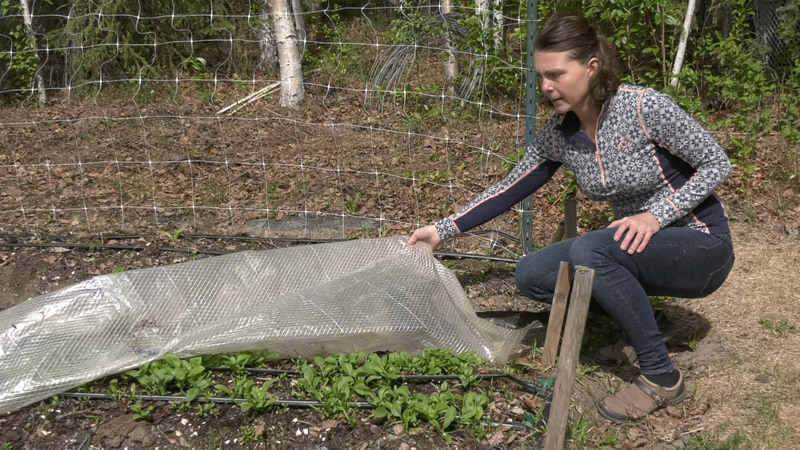 Covering developing gardens in plastic tarps, frost cloth, or even blankets can serve as an...