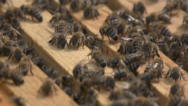 Honeybees in their segmented apiary at Happy Creek farm.