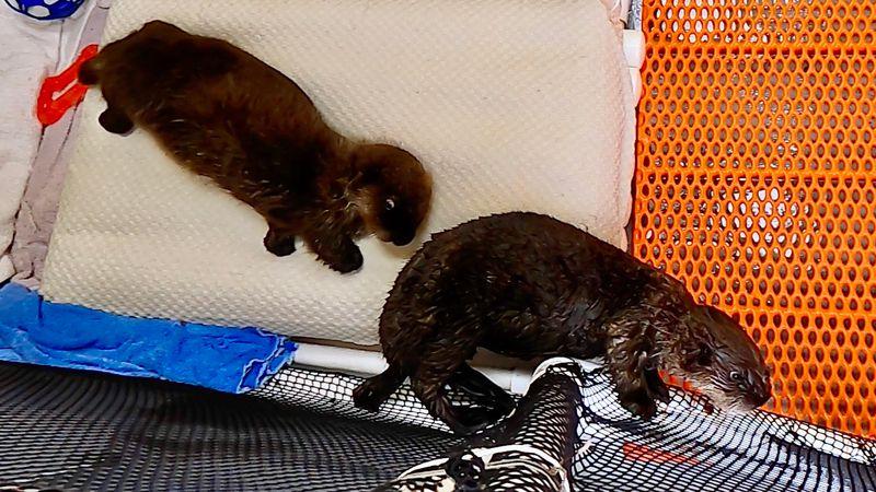 Baby sea otters Juniper and Pushki at the Alaska SeaLife Center.