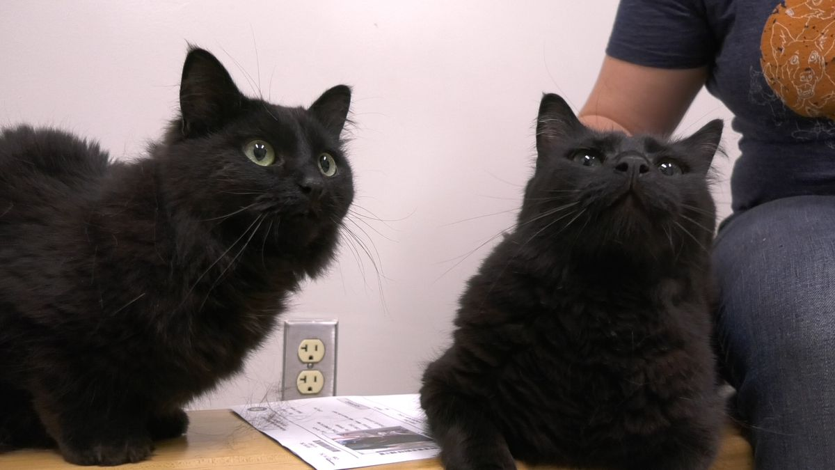 Feline siblings Loki and Athena love to stick together, and are sure to have purr-fect...