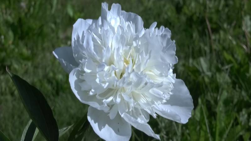 As peonies bloom across the State of Alaska, you could start your own peony garden at home.