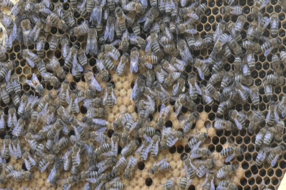 Honeybee workers and drones trending to their combed hive.