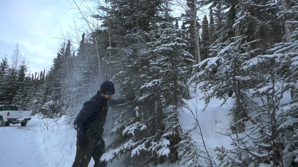 Andrew Allaby, a Resource Forester shakes snow off of a spruce tree he is thinking about...