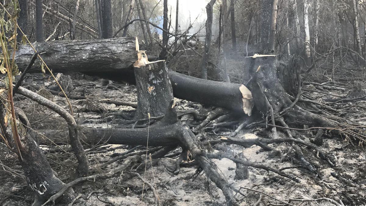 Crews cut hazard trees near edge of fireline on the McKinley Fire on August 22, 2019. (Alaska...