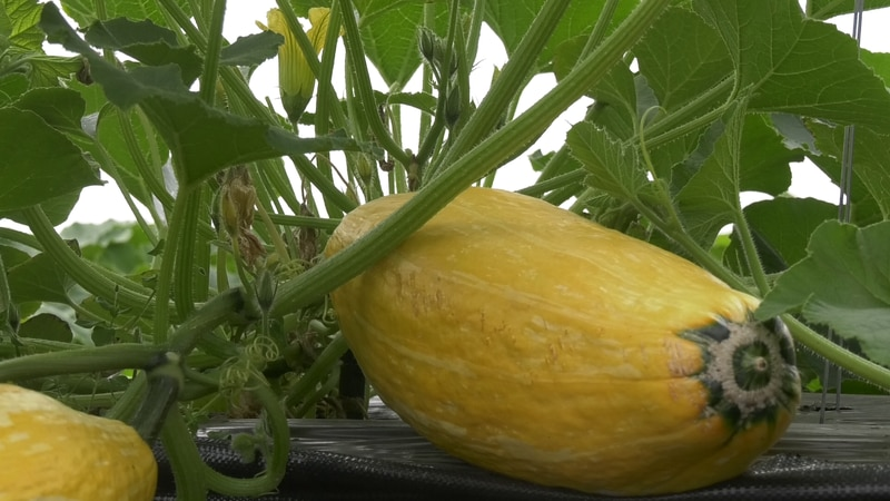 The University of Alaska Fairbanks has been conducting a study to determine which varieties of...