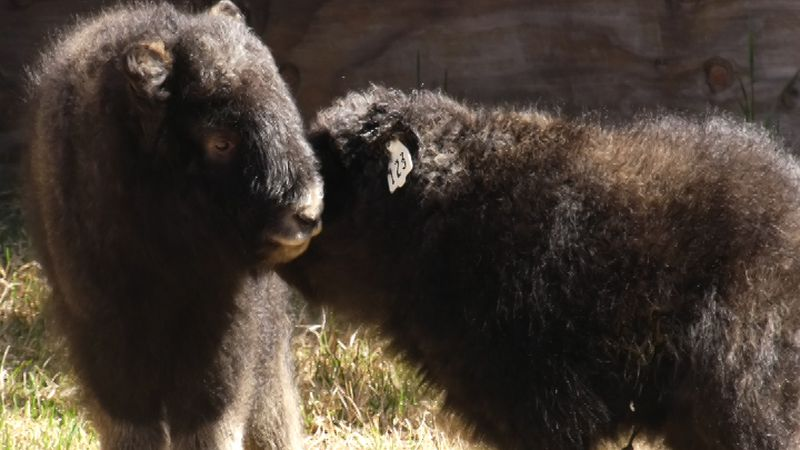 New musk ox calves were welcomed into the world at the Large Animal Research Station this month.