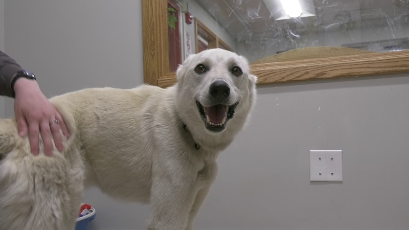 Gizmo is a loving, energetic, and fun loving Husky looking for a loving family.