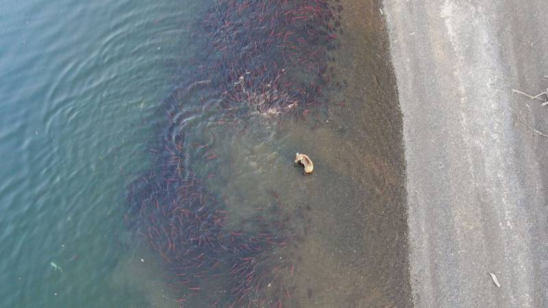 Sockeye salmon escape a brown bear in the Bristol Bay watershed.