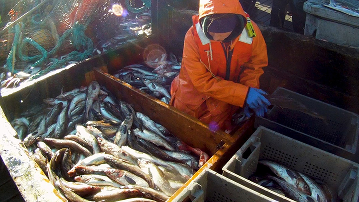 Alaska's fishing industry catches salmon, pollock, halibut, crab, and others. (NOAA)