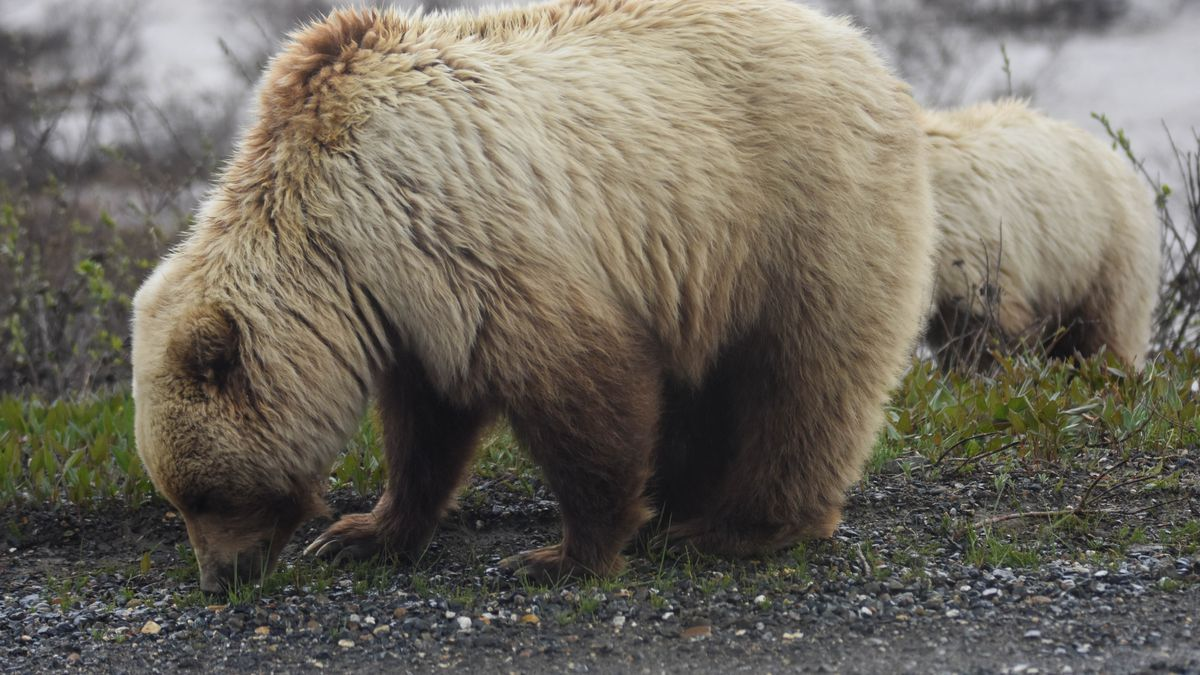 A grizzly and her large cub alongside the Denali Park Road. (National Park Service)