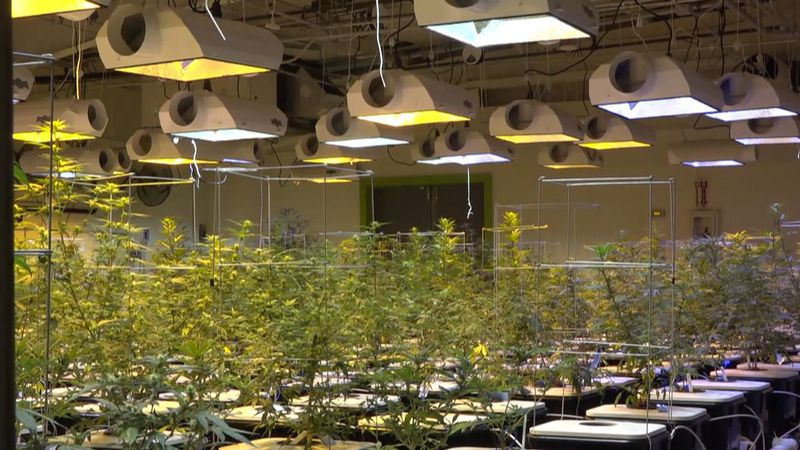 The cultivation room at Cannabaska, an Alaskan Marijuana industry business in Anchorage.