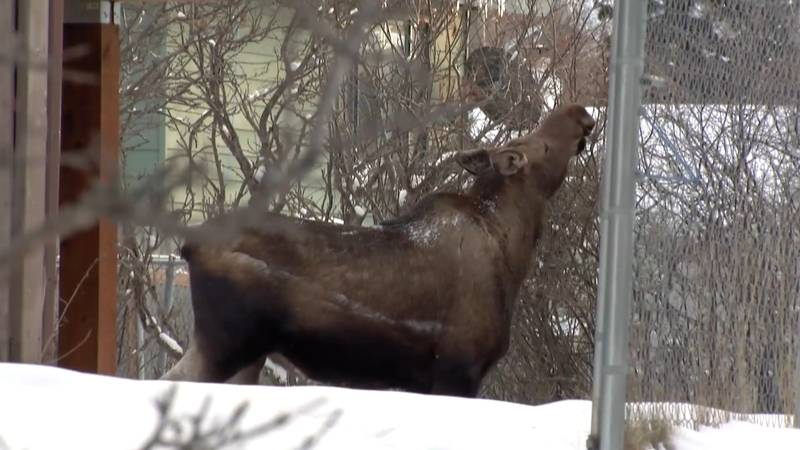 An urban moose sighting in Anchorage during the 2021 moose count.