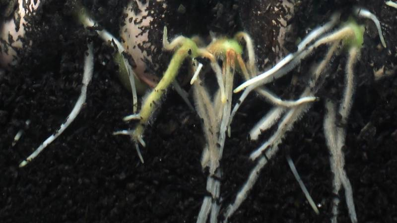 Roots in your soil put off exudates into the surrounding ground. These exudates act as...